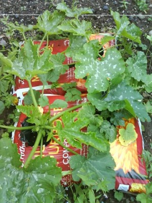 Courgette Plants grow well in Grow bags