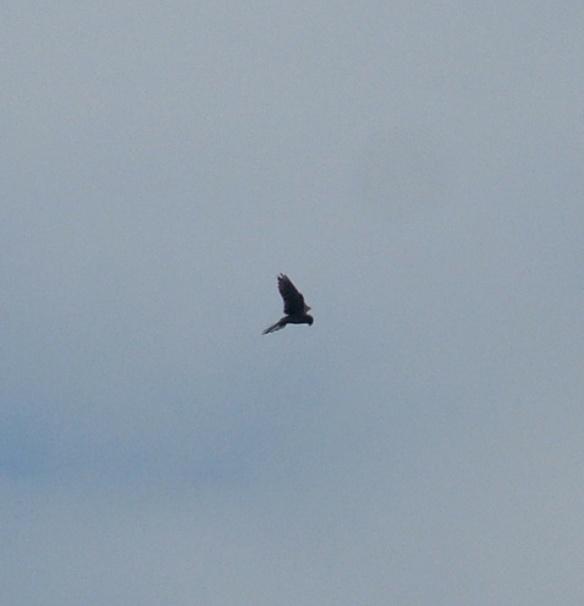 Hovering Kestrel