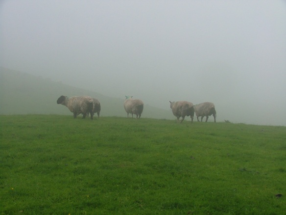 Mooland Sheep
